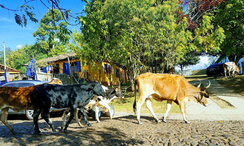 Animal Themes Mammal Nature Beauty In Nature Travel Photography Travel Destinations Clear Sky Brazil Tranquility Lavras Novas MG :-) Traveling Traveller Outdoors Day Cows Cows🐮 Breathing Space