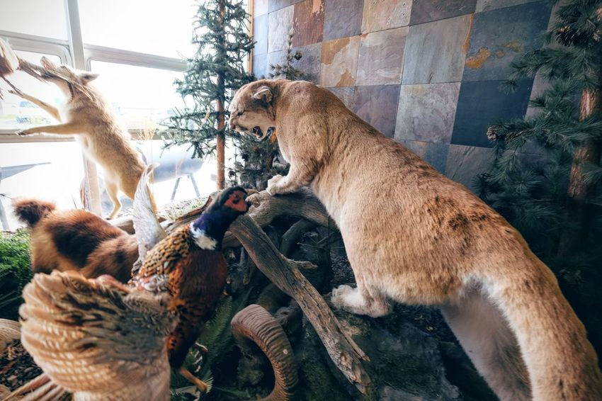 Photo essay - A day in the life. Cabela's Outfitters Kearney, Nebraska November 6, 2016 A Day In The Life Americans Animal Themes Business Finance And Industry Cabela's Camera Work Cougar Display Economy EyeEm Gallery Hunting Middle America Mountain Lion Nebraska Outfitter Photo Diary Photo Essay Retail Store Shopping Sporting Goods Shop Storytelling Taxidermy Travel Photography Visual Journal Weekend