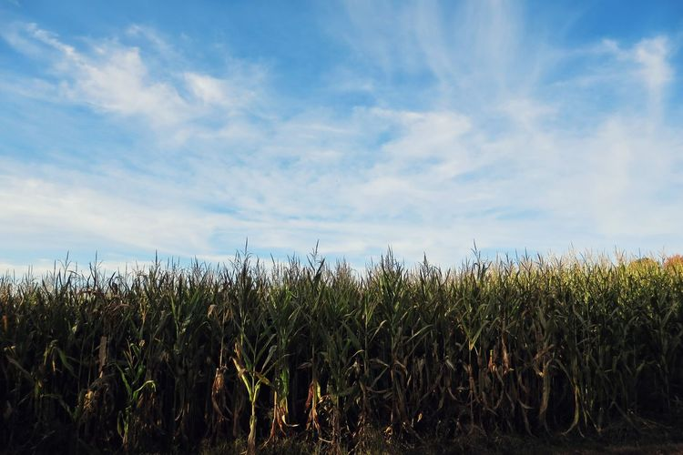 Crops Growing On Field Against Sky