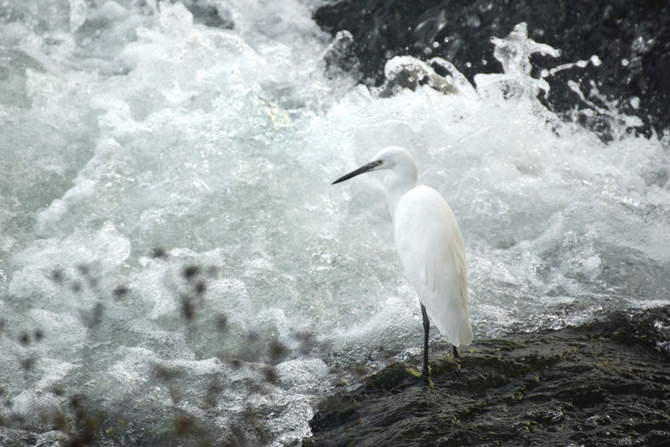 White heron perching in water