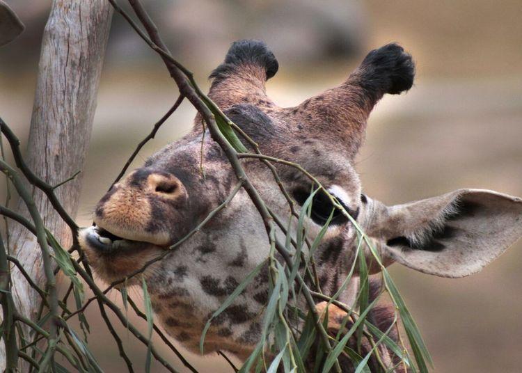 Close-Up Of Giraffe By Tree At San Diego Zoo Safari Park
