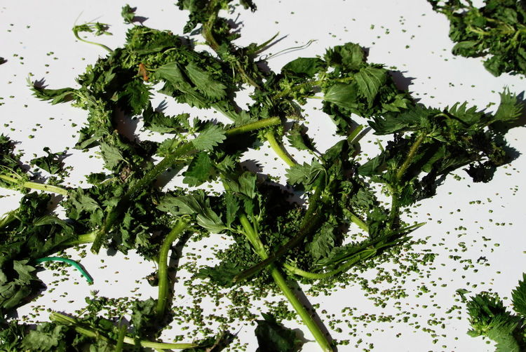 Close-up Day Drying Nettles Food Green Color Healthy Eating March 2017 Milano No People Outdoors Table White Background