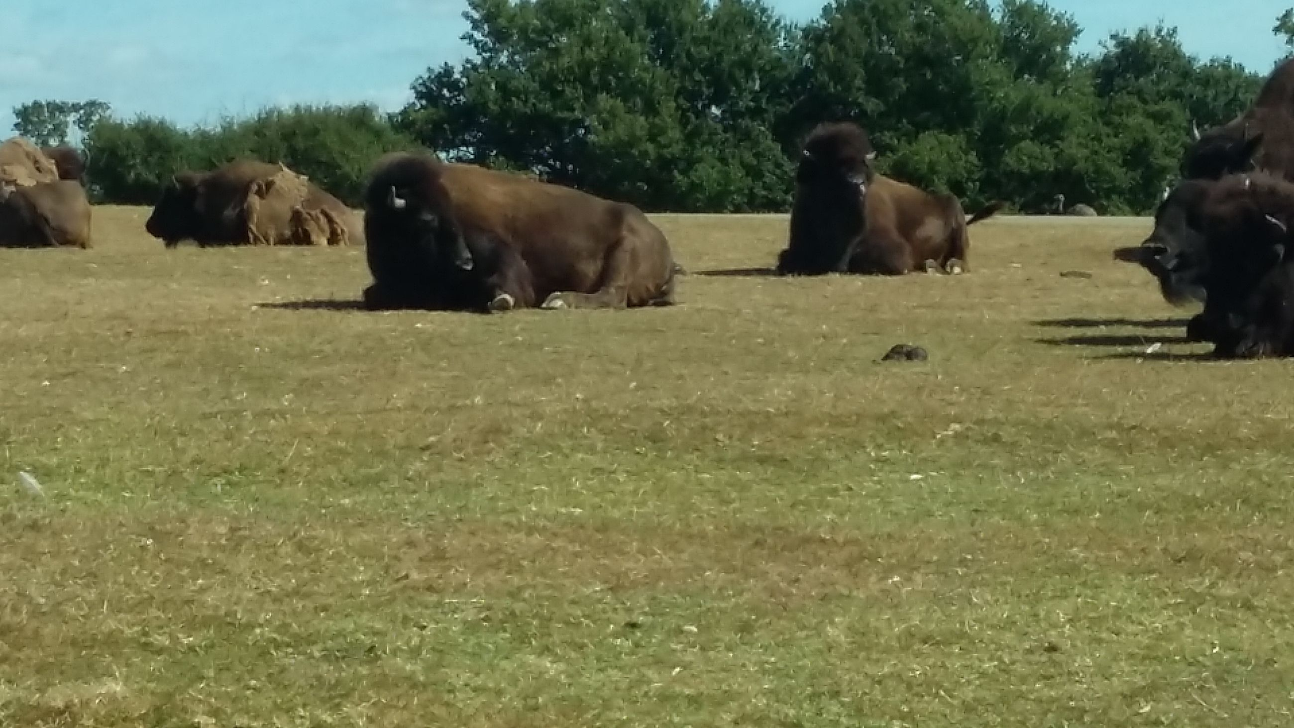 domestic animals, mammal, tree, one animal, side view, grass, dog, full length, livestock, surface level, casual clothing, herbivorous, outdoors, day, safari, domestic cattle, zoology, green color
