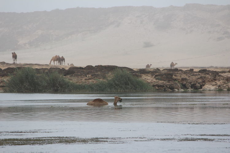 Beauty In Nature Camel Camel Swimming Day Hill Idyllic Insolite Landscape Mammal Mountain Mountain Range Nature Non-urban Scene Outdoors Scenics Sky Swimming Tranquil Scene Tranquility Water
