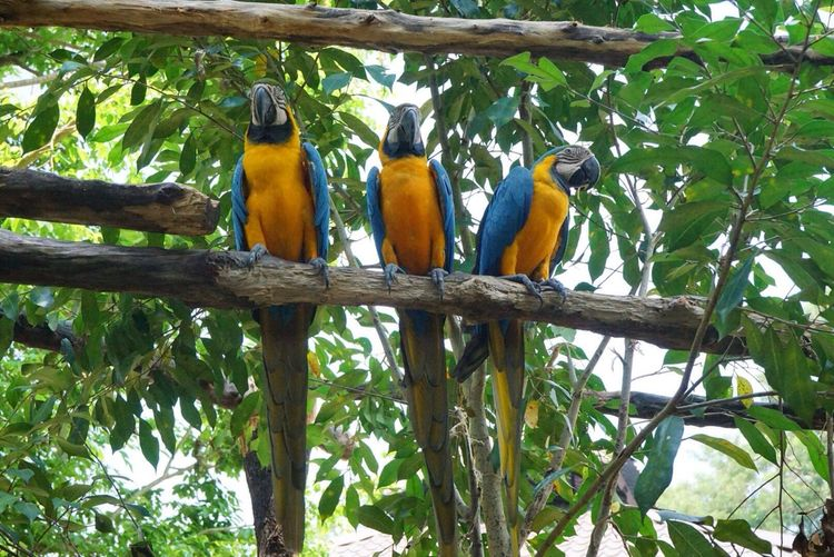 Parrot Parrot Yellow Bird Blue Wings Zoo Fly SONY A7ii SONY ILCE-MK2