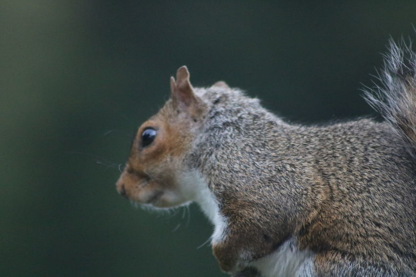 EyeEm Selects Pets Cute Close-up Squirrel Animal Hair Tail Hairy  Animal Ear