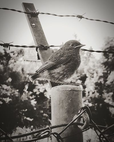 Bird Perching Animal Themes Animals In The Wild One Animal No People Animal Wildlife Focus On Foreground Day Cable Outdoors Low Angle View Sky Nature Close-up Babyblackbird