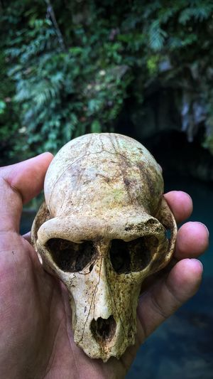 Skull of Monkey in The Forest Hands Body Part Bone  Close-up Day Dead Finger Focus On Foreground Food Hand Holding Human Body Part Human Finger Human Hand Leisure Activity Lifestyles Monkey One Person Outdoors Personal Perspective Real People Skull Unrecognizable Person