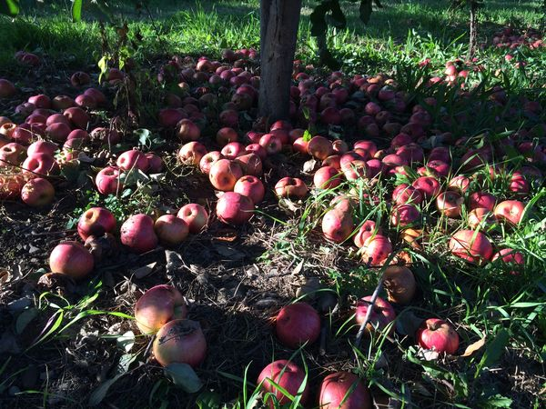 Apple Tree Apples Beauty In Nature Cycle Of Life Day Decompose Decomposition Fertility Flower Food Waste Food Waste Awareness Fragility Freshness Growth Harvest Harvest Time Horizontal Nature No People Outdoors Plant Tree