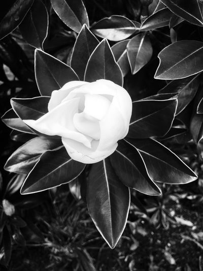 Blooming Magnolia Plant Flowering Plant Flower Vulnerability  Petal Fragility Growth Beauty In Nature Close-up Freshness Flower Head No People Nature White Color Focus On Foreground Plant Part Inflorescence Leaf Day Outdoors