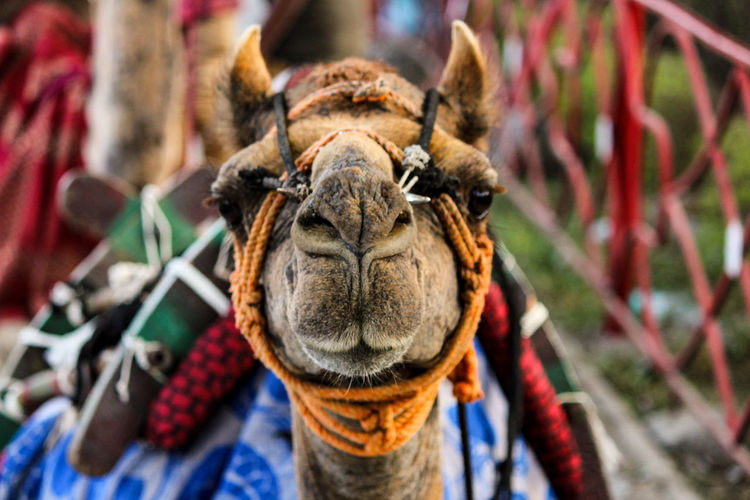 Animal Themes Animal Mammal One Animal Animal Head  Animal Body Part Close-up Domestic Animals Focus On Foreground Animal Wildlife Day Working Animal Front View Domestic No People Camel Outdoors Livestock Portrait Pets Herbivorous Animal Nose Animal Mouth