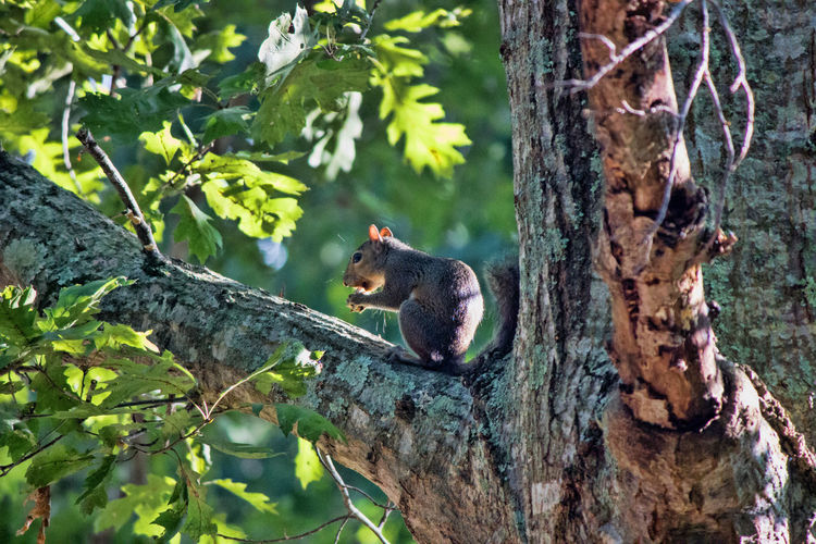 Squirrel in Tree Animal Animal Themes Animal Wildlife Animals In The Wild Branch Nature No People One Animal Squirrel Tree