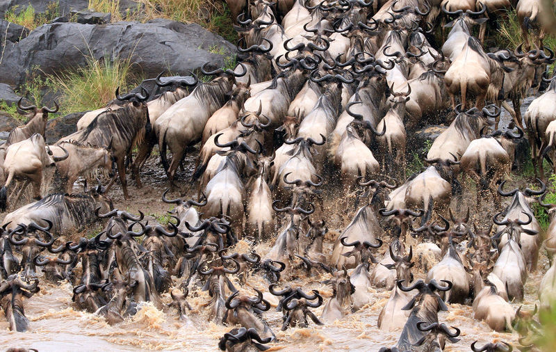 Chaotic Wildebeest migration across the mara river is Kenya Kenya Mara River Wildlife & Nature Wildlife Photography Animal Themes Animal Wildlife Animals In The Wild Annual Event Beauty In Nature Chaos And Order Clambering Day Group Of Animals Herd Large Group Of Animals Mammal Motion Nature No People Outdoors Water Wildebeest Wildebeest Crossing Wildebeest Migration Wildlife
