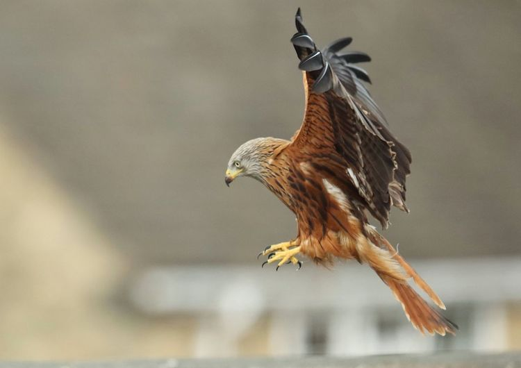 Red kite Animal Themes Animal Wildlife Animals In The Wild Bald Eagle Bird Bird Of Prey Day Flying Nature No People One Animal Outdoors Red Kite Red Kite In Flight Red Kites Spread Wings