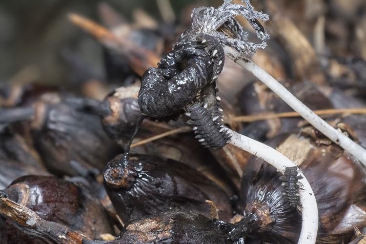 Fungus beetle larvae