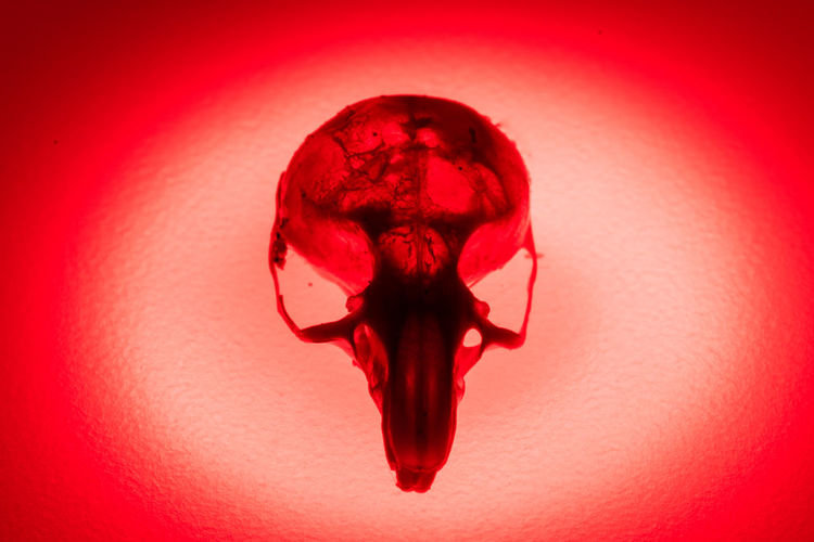 The skull of a small rodent probable mouse Mouse Skull Skeleton Cat Close-up Colored Background Day Halloween Illuminated Indoors  Mammal Skull Mouse Skeleton No People Red Red Background Rodent Skull Skull Skulls Spooky Studio Shot