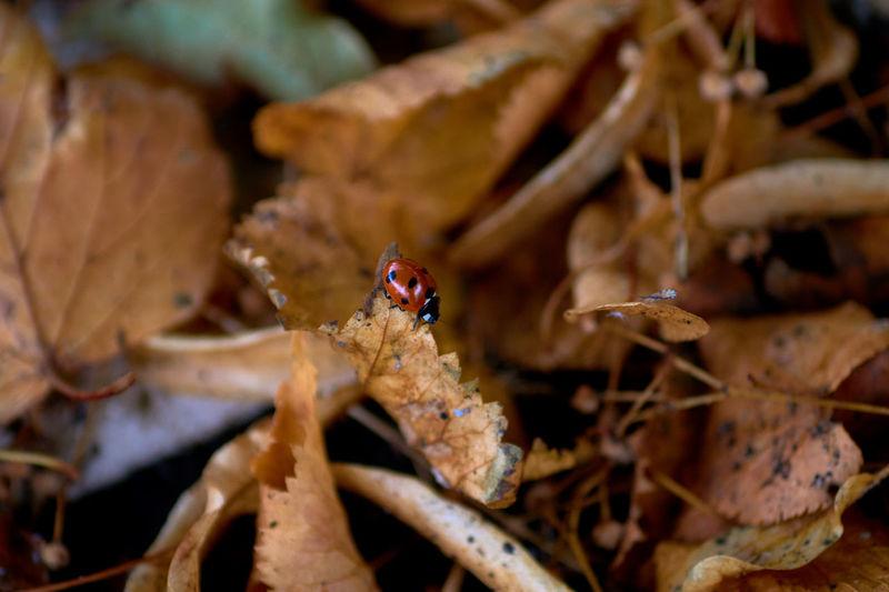 Close-up of ladybug on dry leaves