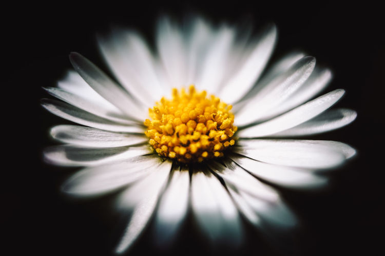 Close-up of daisy flower against black background