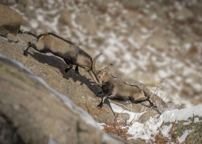 Tilt shift image of deer fighting on rock formation during winter