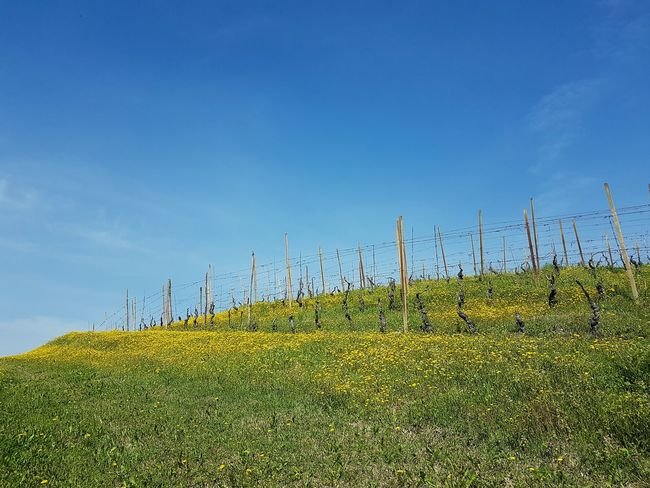 Blue Agriculture Sky Growth Farm Rural Scene Nature Tree Clear Sky Tranquility No People Day Beauty In Nature Field Outdoors Sunlight Vineyard Langhe Piedmont Italy Spring Blooms In The Vineyard Agriculture Freshness Green And Yellow Colour