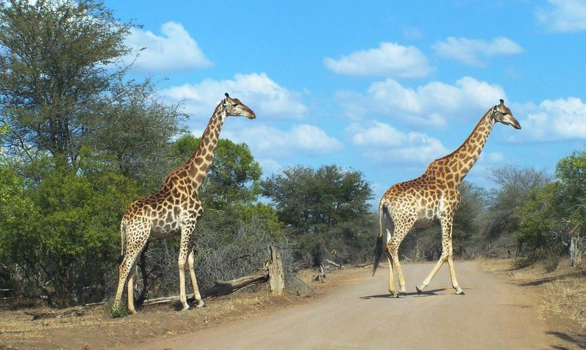 Giraffe♥ Young Adult Krugernationalpark Summertime Feeding Animals Natural Habitat Good Condition