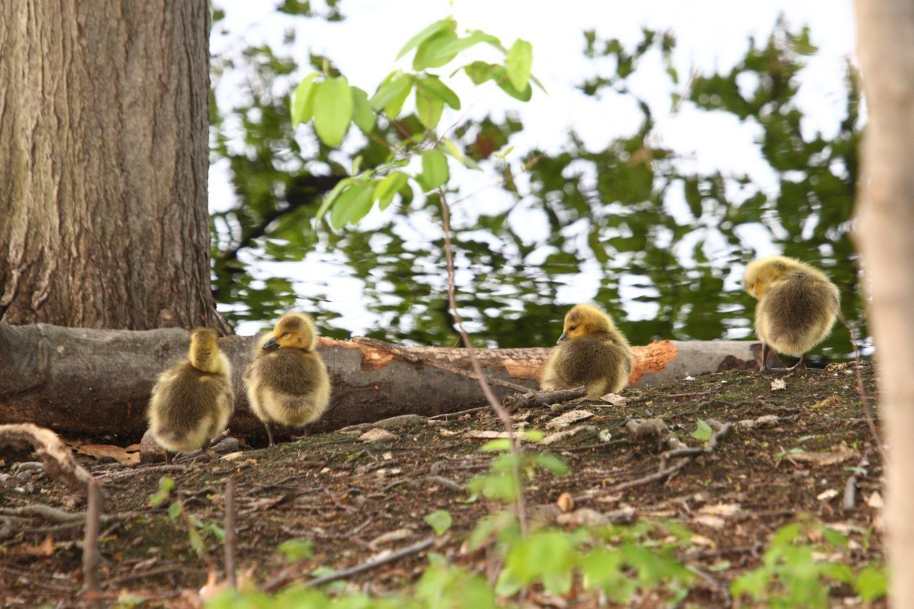 animal themes, animal, animal wildlife, group of animals, animals in the wild, plant, young animal, tree, vertebrate, mammal, young bird, nature, day, no people, bird, three animals, land, relaxation, selective focus, animal family, gosling