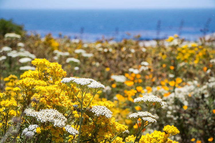 just a dream Nature Landscapes Exploring Elevated View California Enjoying Life Warm Flower Head Flower Photography Themes Yellow Uncultivated Field Multi Colored Rural Scene Summer Nature Reserve Wildflower Plant Life In Bloom Botany Blooming Flowering Plant Stamen Pollen Daisy Poppy Thistle Dandelion Blossom