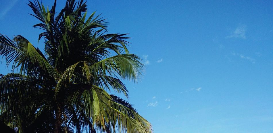 Low Angle View Nature Sky Clear Sky Blue No People Outdoors Day Tree Coconut Tree
