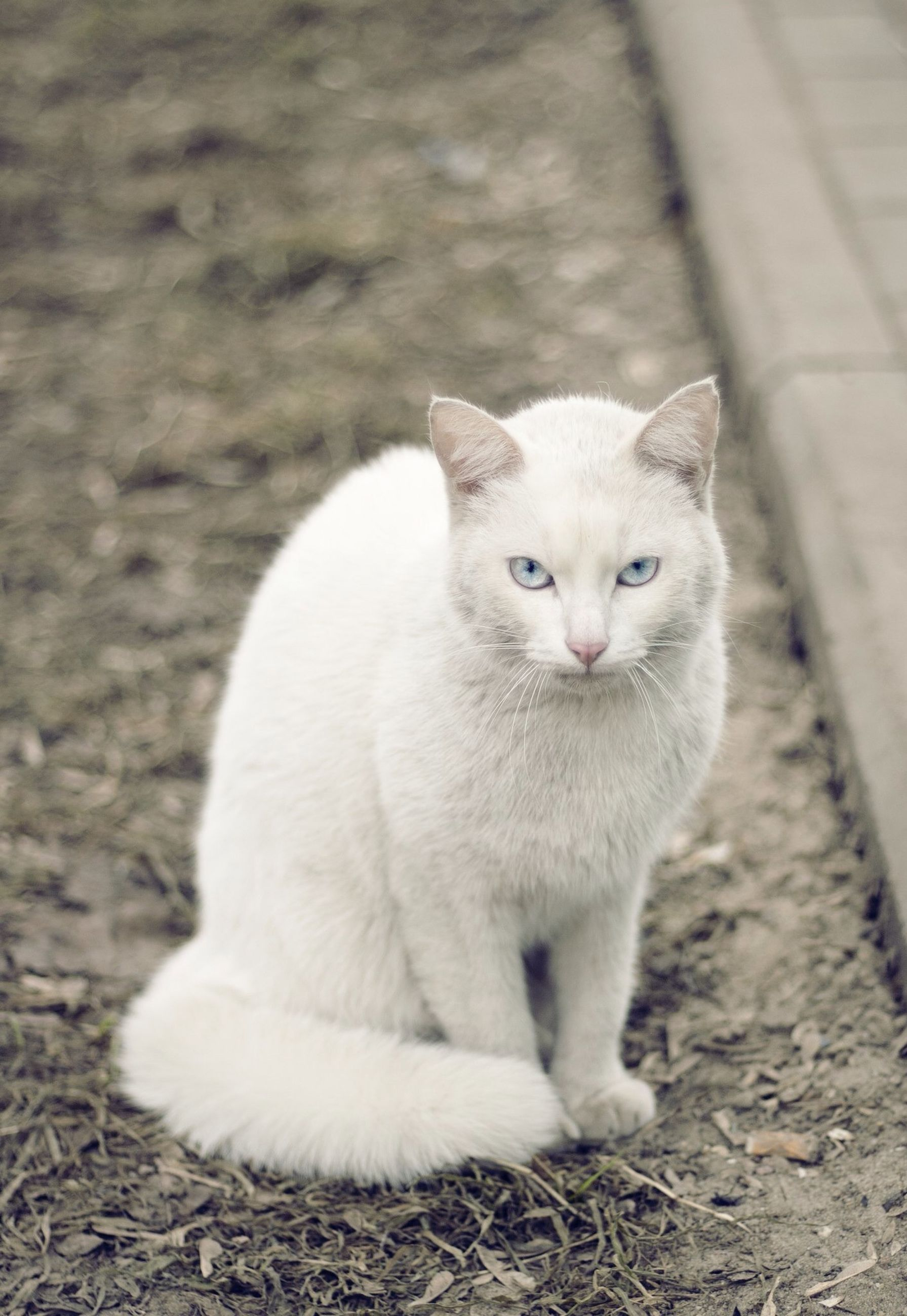 animal themes, one animal, domestic cat, white color, cat, mammal, domestic animals, feline, close-up, pets, focus on foreground, relaxation, whisker, wildlife, high angle view, outdoors, no people, day, white, animal head
