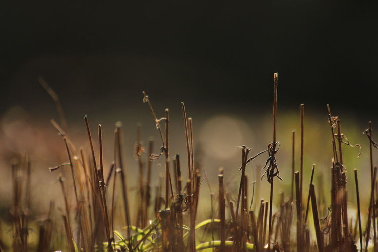 springtime ahead Plant Growth Nature No People Beauty In Nature Tranquility Close-up Field Cattail Outdoors Focus On Foreground Land Day Sky Selective Focus Plant Stem Agriculture Sunlight Tranquil Scene Early Bloomer Garden Springtime Blossoms