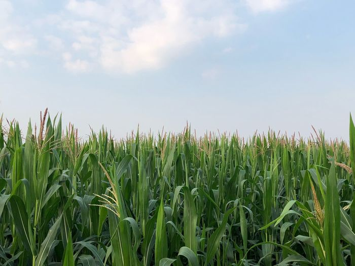Corn field Cornfield Growth Plant Sky Field Agriculture Land Crop  Farm Green Color Cereal Plant Corn Landscape Beauty In Nature Cloud - Sky Tranquil Scene Tranquility Nature No People Rural Scene Day