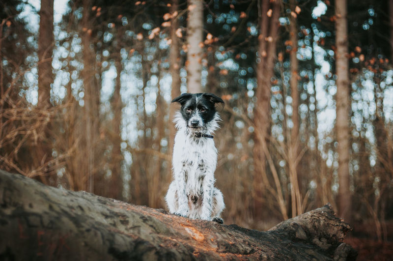 Mixed breed dog sitting on tree trunk in forest.