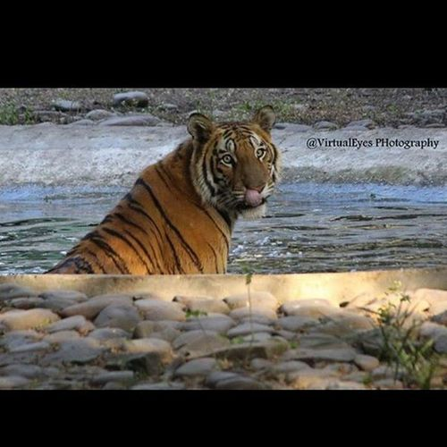 Tiger Animal Love Eyes Pic Virtualeyes Photography Zoo India Indore Madhyapradesh Water Sunlight Wildlife Nature 😍
