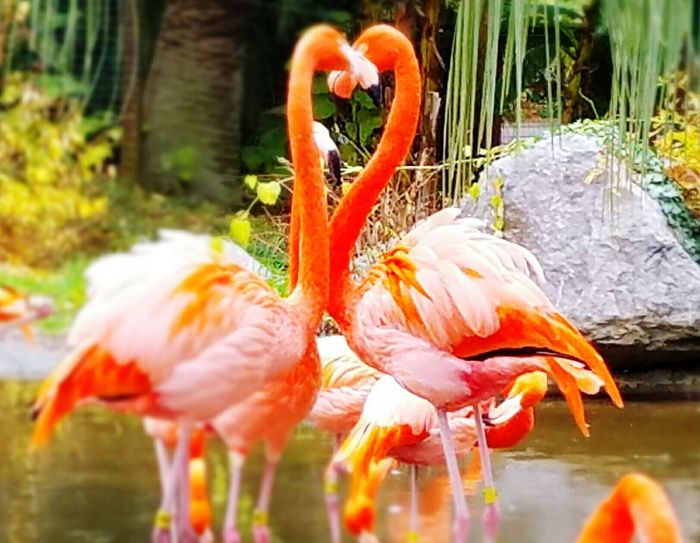 Flamingo Flamingo Flamingo At The Zoo Flamingos Up Close Heart Shape Hearts Pink Bird Nature Animal Themes No People ZOO-PHOTO Zoophotography Shapes In Nature  Shapes And Lines Close-up Birds Wildlife Birds🐦⛅ Zoo Nature Birds