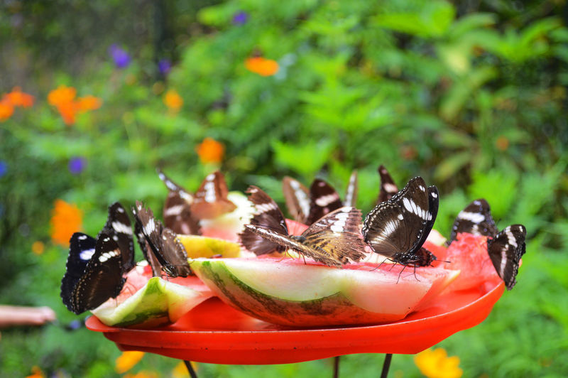 Close-Up Of Butterflies On Watermelon Slices