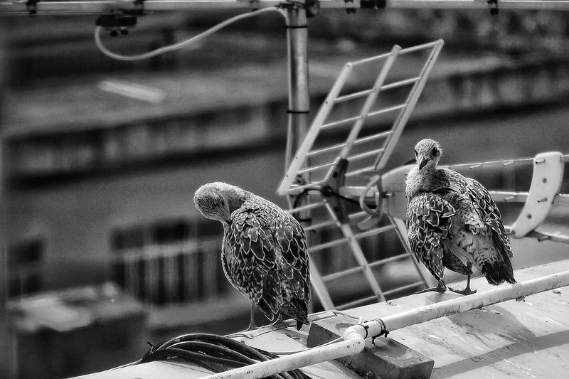 In Vigo Gulls Nest On The Roofs Of Buildingsbird Animal Themes Perching Zoology No People Gull Chick Roof Building Vigo Galicia, Spain