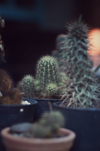 Close-up of cactus growing in pot