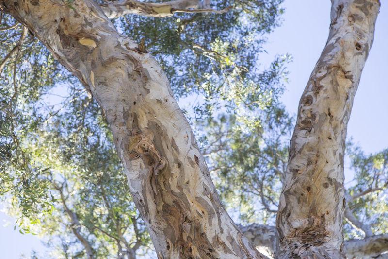 Bark Bundoora Park Close-up Gum Leaves Gum Trees Nature Park Sky Sunny Day Tree