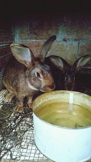 Lepre Coneco Rabbits 🐇 Coniglio
