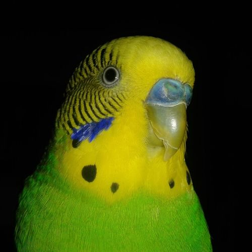 El Maligno no tiene cuernos, tiene plumas. Bird No People Animal Periquito Kiwi Animal Themes Devil Teloe Pet