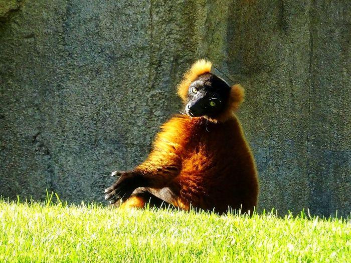 Lemur Lemure