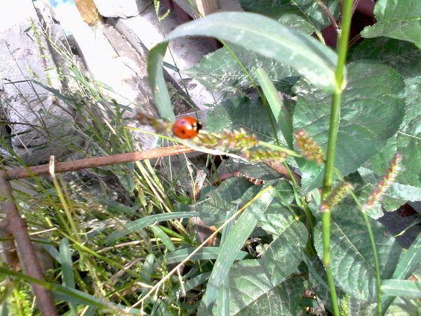 Ladybug Unedited Ladybeetle Green Plants Grass Wolfzuachis Eyeem Market