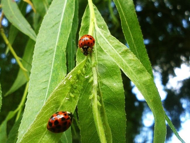 Petites merveilles dans mon jardin. Nature On Your Doorstep Ladybirds 🐞 Ladybugs Taking Photos Inmygarden Beautiful Nature Nature_collection EyeEm Nature Lover Insects
