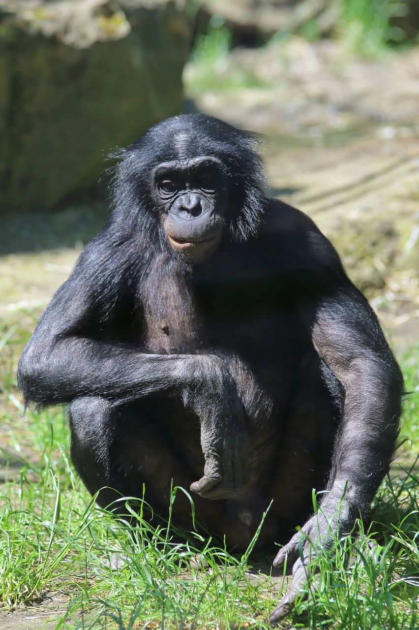 mammal, primate, grass, animals in the wild, animal themes, monkey, one animal, animal wildlife, no people, nature, black color, outdoors, chimpanzee, day, full length, gorilla, sitting, ape, portrait, close-up