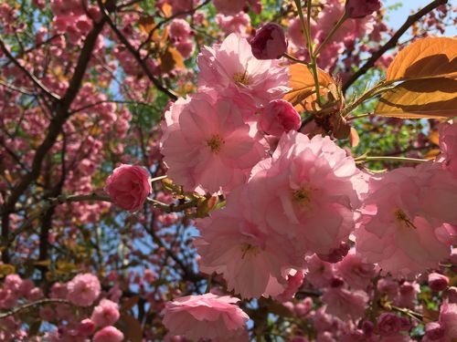 Blooming Tree Cherry Blossoms Pink Sakura Tree Beauty In Nature Blooming Blossom Branch Close-up Day Flower Flower Head Fragility Freshness Growth Nature No People Outdoors Petal Pink Color Plant Sakura Blossom Springtime Tree
