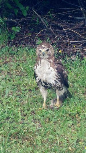 Falcon trapping