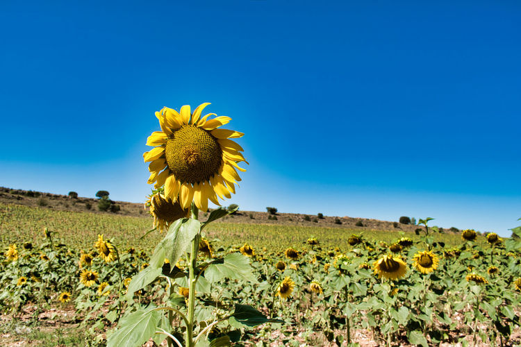 Scenic view of sunflower field against blue sky