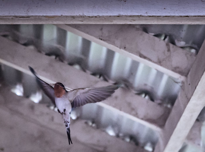 Swallow in flight nest building. Wisemans Ferry, New South, Wales, Australia Animal Themes Bird Animals In The Wild No People One Animal Animal Wildlife Nature Day Outdoors Spread Wings Close-up Swallow Spring Nestbuilding Eaves Tinroof Australia EyeEmNewHere