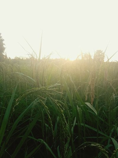 Agriculture Growth Crop  Farm Nature Field Rural Scene Cereal Plant Green Color Plant Sky Day Close-up Irrigation Equipment Beauty In Nature Freshness No People Outdoors Sunlight Grass
