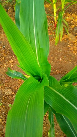 Leaf Tree Rural Scene Agriculture Close-up Grass Plant Green Color Photosynthesis Corn - Crop Leaf Vein Ear Of Wheat Tree Trunk Cultivated Land Woods Banana Tree Lush - Description Corn